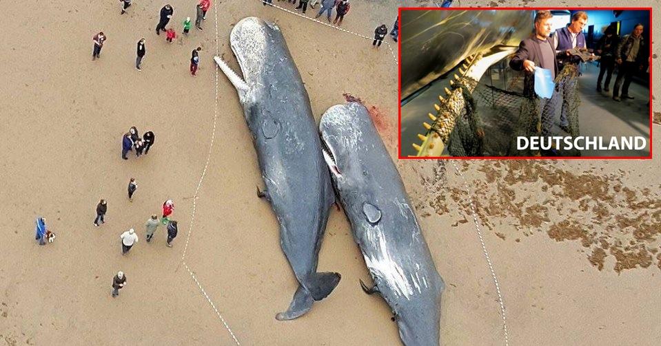 Gestrandete Wale in Deutschland: Die Mägen sind voll mit Plastikmüll und einem 13 Meter langen Fischernetz
