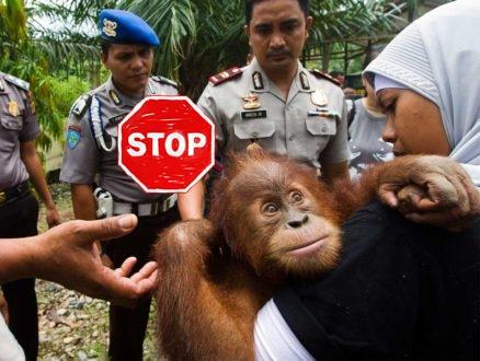 Palmöl, biokraftstoff, regenwald, affen