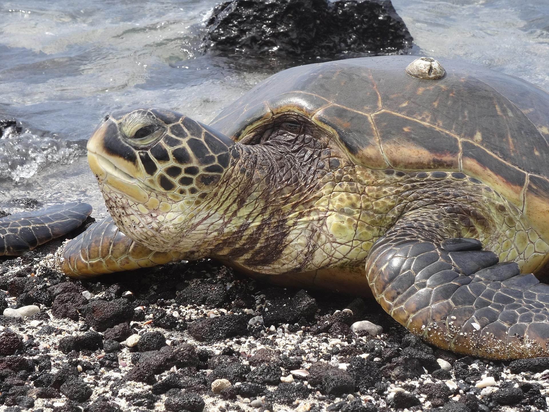 Ausgestorben geglaubte Riesenschildkröte auf Galápagos-Insel nach 100 Jahren wiederentdeckt