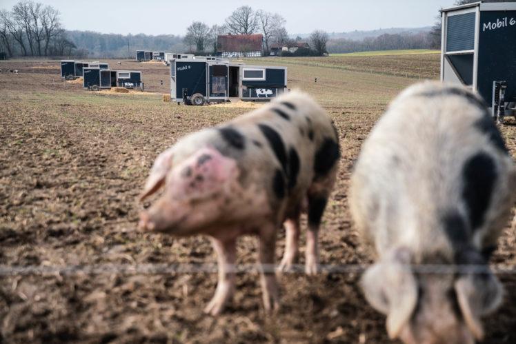 Mehr Tierwohl: Weltweit erster mobile Schweinestall in Osnabrück